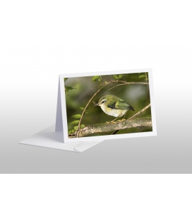 Rifleman, NZ's Smallest Bird: Card