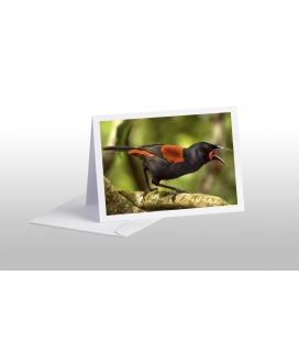 Singing Saddleback: Card