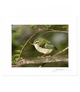 Rifleman, NZ's Smallest Bird: 6x8 Matted Print