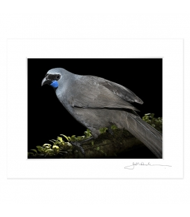 Kokako, Grey Ghost of the Forest: 6x8 Matted Print