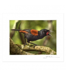 Singing Saddleback: 6x8 Matted Print