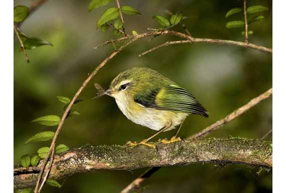 Rifleman, NZ's Smallest Bird