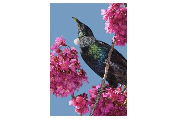 Tui in Cherry Blossom: Card