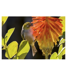 Waxeye on Red Hot Poker: Card
