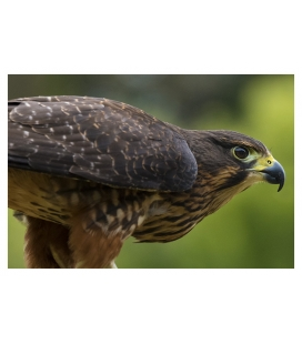 Karearea, endangered native NZ Falcon: Card