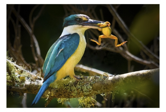 Kingfisher with Catch: Card
