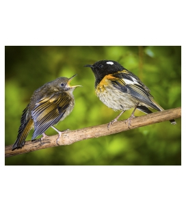 Male Stitchbird (Hihi) with fledged Chick: Card