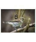 Grey Warbler, Riroriro: Card