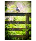 Quail on Gate: Card