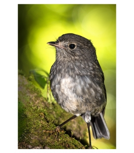 North Island Robin, Toutouwai: Card