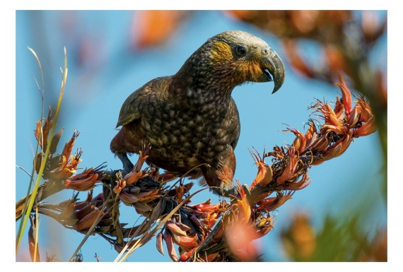 Kaka, the Bush Parrot: Card