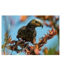 Kaka, the Bush Parrot: Card