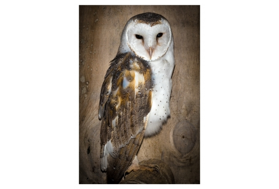 The Barn Owl, New Zealand's newest native: Card