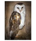 The Barn Owl, New Zealand's newest native: Card