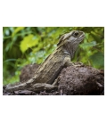 Basking Tuatara: Card