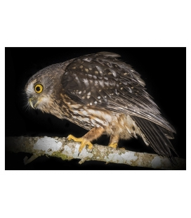 Morepork on tree branch: Card