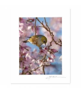 Waxeye in Cherry Blossom: 6x8 Matted Print