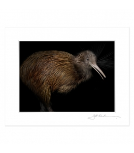 North Island Brown Kiwi: 6x8 Matted Print