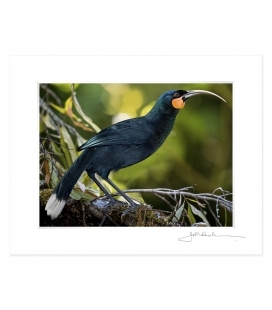 The Magnificent Huia: 6x8 Matted Print