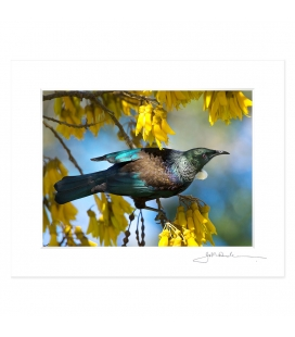 Tui in Kowhai, Dappled Light: 6x8 Matted Print