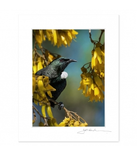 Tui in Kowhai, Point Wells: 6x8 Matted Print