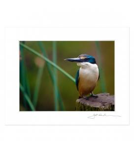 Kotare, NZ Kingfisher: 6x8 Matted Print