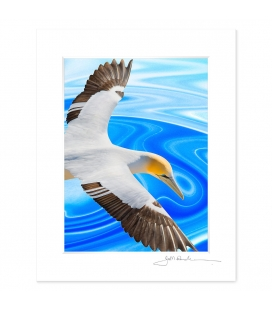 NZ Iconography, Soaring Gannet: 6x8 Matted Print