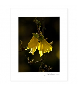 Kowhai Flowers: 6x8 Matted Print