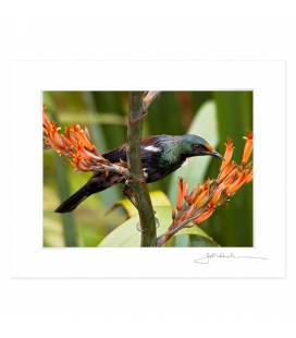 Young Tui Feeding on Flax: 6x8 Matted Print