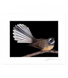 Fantail, Piwakawaka: 6x8 Matted Print