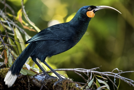 The Magnificent Huia