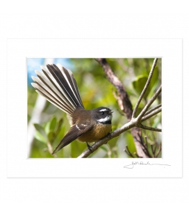 Perching Fantail: 6x8 Matted Print