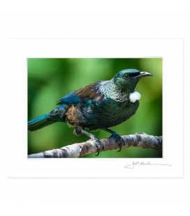 Classic Tui: 6x8 Matted Print