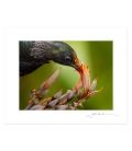 Juvenile Tui feeding: 6x8 Matted Print
