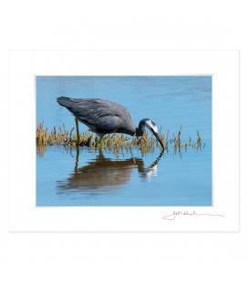 Feeding Heron: 6x8 Matted Print
