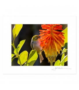Waxeye on Red Hot Poker: 6x8 Matted Print