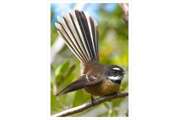 Perching Fantail: Card