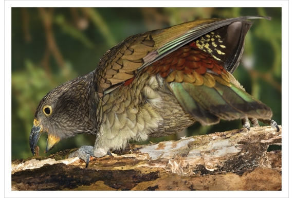 Kea, the endangered NZ alpine parrot: Card
