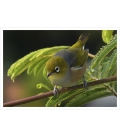 Waxeye on Wattle Card