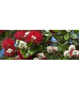 Blossoming Pohutukukawa