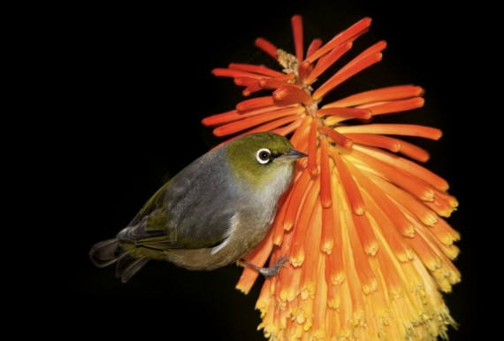 Waxeye on Red Hot Poker