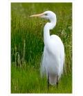 White Heron, Kotuku: Card