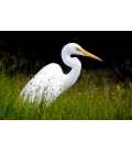 Kotuku, the Mystical White Heron