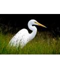 Kotuku, the Mystical White Heron
