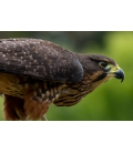Karearea, endangered native NZ Falcon