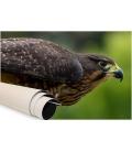 Karearea, endangered native NZ Falcon