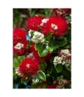 Blossoming Pohutukawa