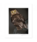 Morepork on Wrought Iron Chair: 6x8 Matted Print