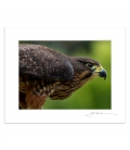 New Zealand Falcon, Karearea: 6x8 Matted Print