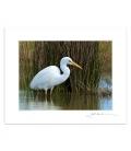 Wading White Heron: 6x8 Matted Print